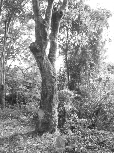 """这些橡胶树已经80""""岁"""""""